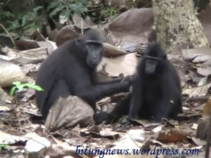 Yaki/Kera hitam/ Macaca Nigra, di habitatnya kini tinggal 5000 ekor.