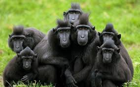 Monyet Hitam/ Yaki lagi selfie (source: kidnesia)